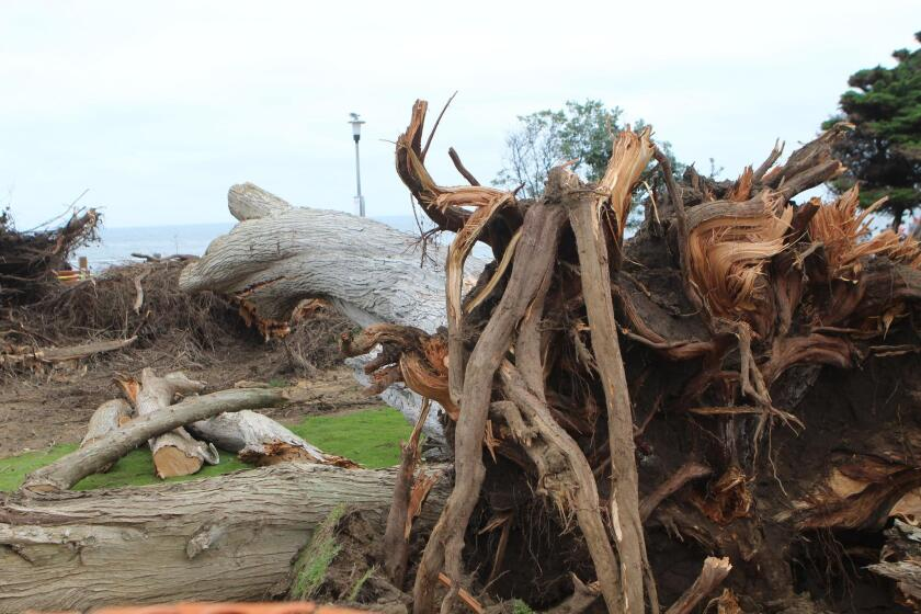 City cleanup crews chainsaw the fallen remains of what three generations of La Jollans have referred to as the 'Lorax tree' in Scripps Park. The 100-foot Monterey cypress fell at 7 a.m. on June 13, 2019. No one was injured.