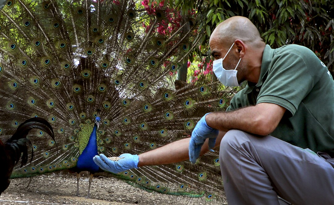 PALESTINE: A worker wearing protective gear feeds a peacock at the Qalqilya Zoo in the occupied West Bank, after the animal park was completely closed to visitors due to the novel coronavirus pandemic, on April 21, 2020.