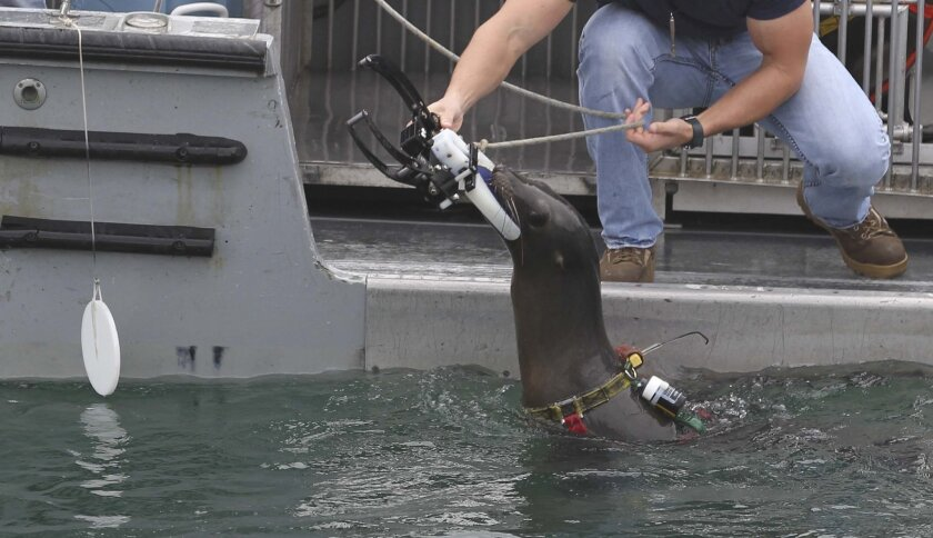 """A handler gives a clamp to one of their trained California sea lions that it will clamp to a person simulating a """"threat swimmer''s""""  thigh, during a demonstration at the Navy's Point Loma facility."""