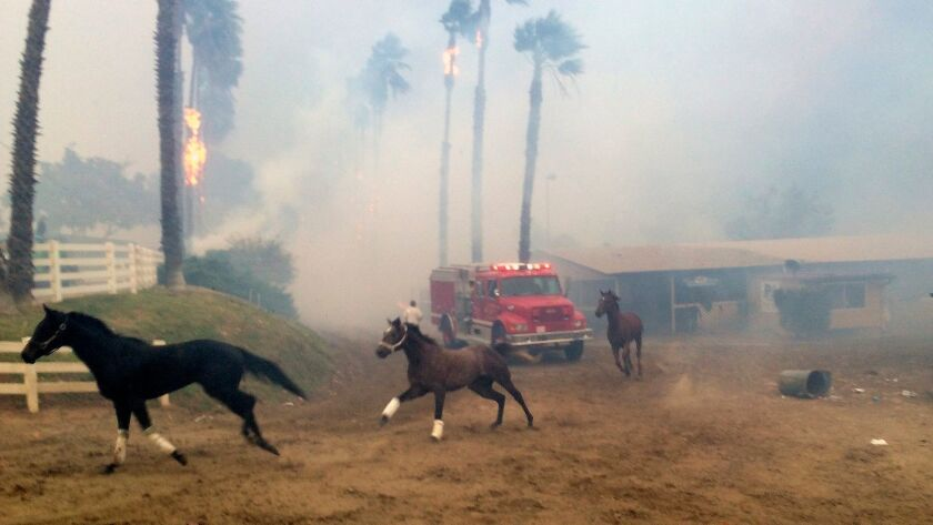 Terrified horses gallop from San Luis Rey Downs as the Lilac Fire sweeps through the horse-training facility in Bonsall.