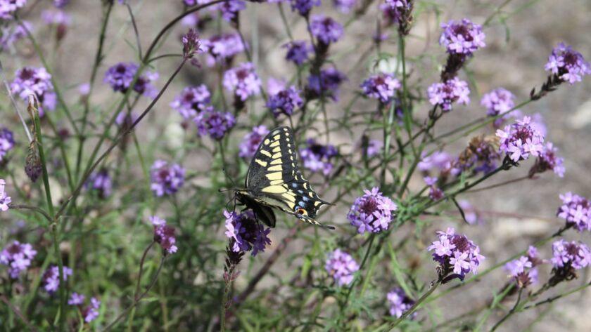 Verbena lilacina 'De La Mina' has fragrant purple flowers that attract butterflies.
