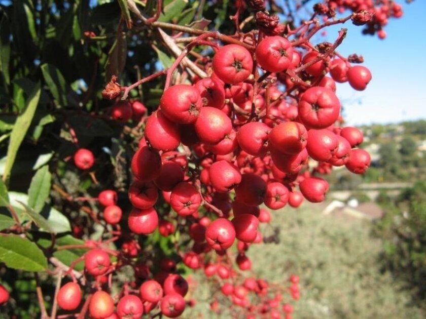 Bright-red toyon at the San Elijo Lagoon. Courtesy photo