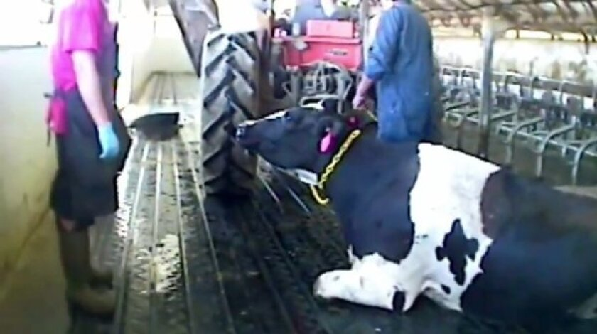 A cow is chained by its neck to a tractor in an image from undercover video shot at Bettencourt Dairies in Idaho and released by the activist group Mercy For Animals.