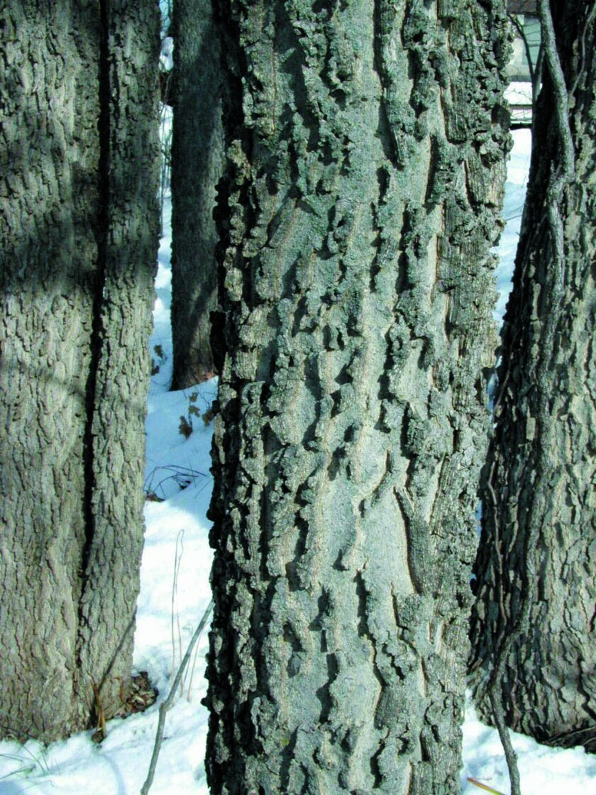 In this Dec. 2, 2013 photo, the corky ridges of the hackberry's bark have a subtle beauty, with crisp areas of light and shadow evocative of photographs of the lunar landscape, in New Paltz, New York. (AP Photo/Lee Reich)