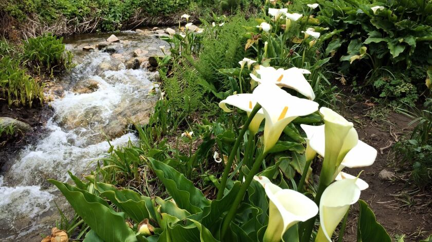 Calla lilies in Garrapata State Park in Big Sur. Travelers can drive to this coastal park from Monte