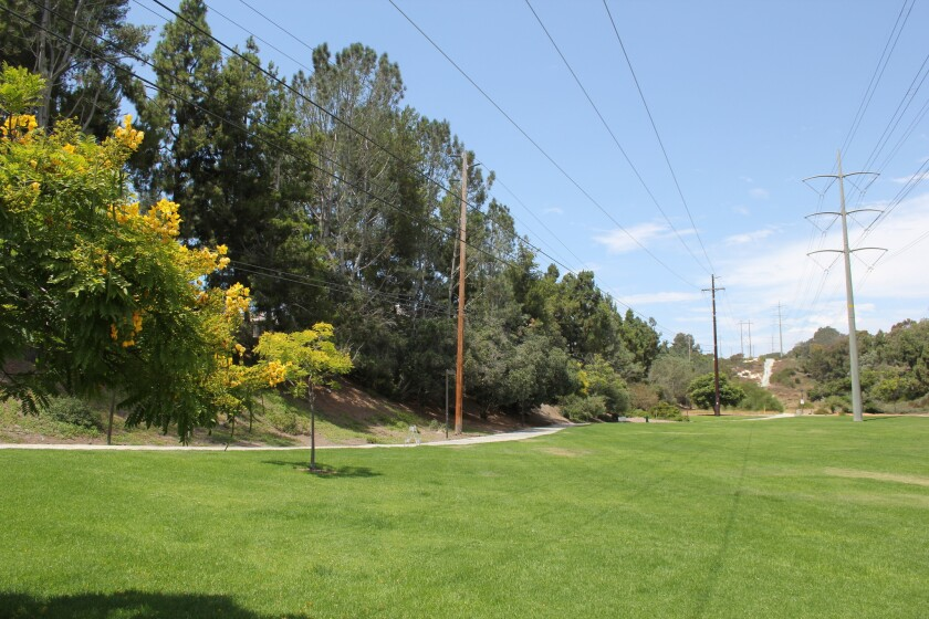 The large trees in Carmel Mission Park will need to be removed over the next three years.