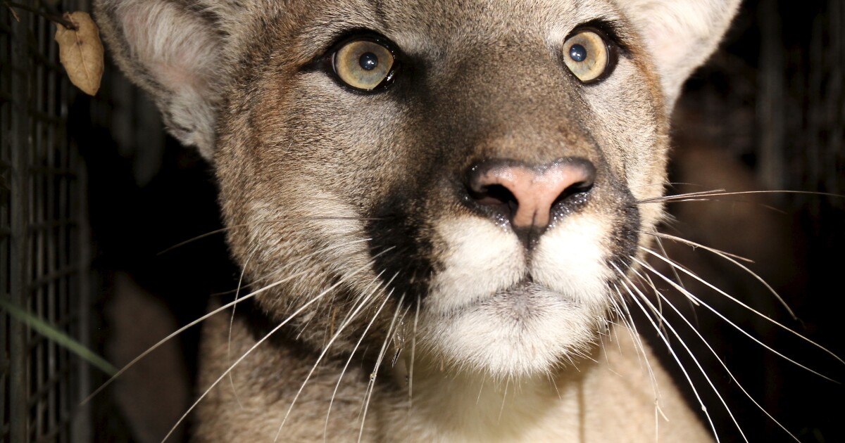Deformities linked to inbreeding discovered among cougars in the Santa Monica Mountains