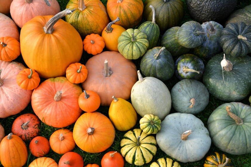 Colorful varieties of pumpkins and squashes.