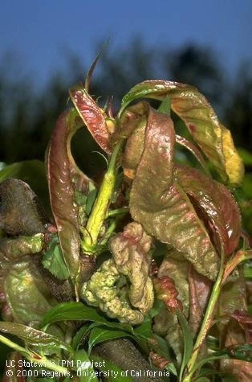Peach Leaf Curl distorts and discolors new leaves which later fall off.