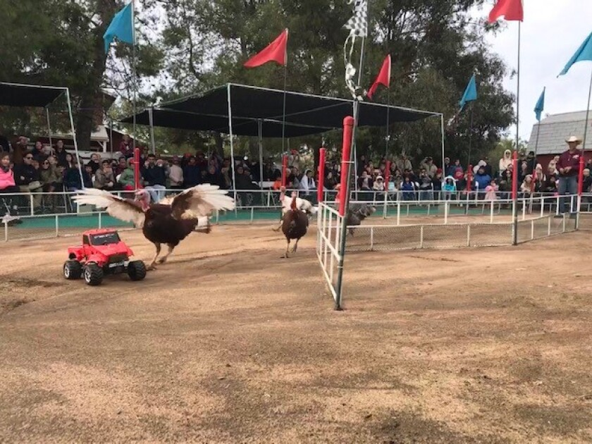 Turkey races at Oasis Camel Dairy