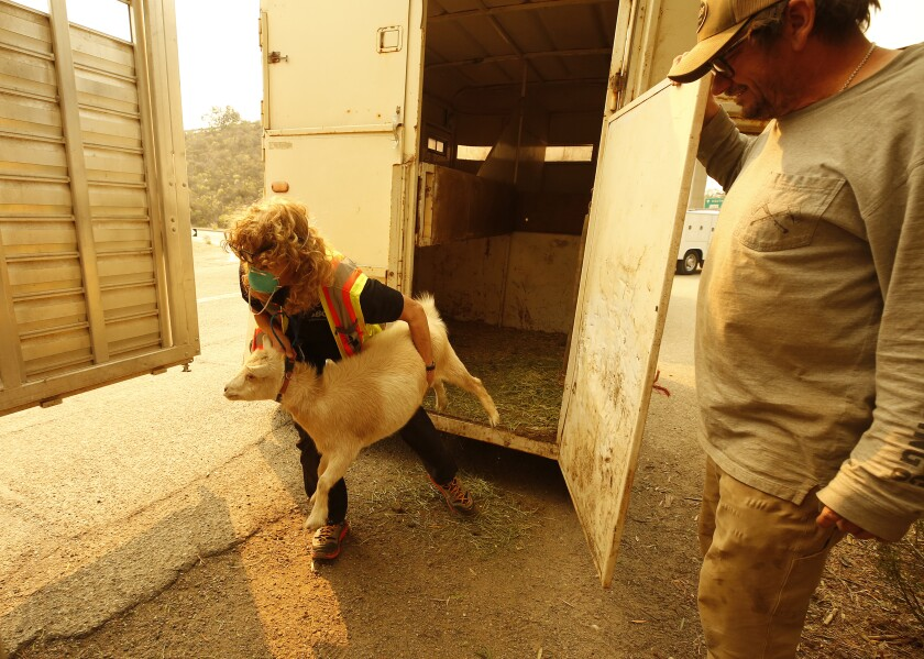 Angela Yates transfers a goat to her trailer rescued from a ranch as the Alisal fire burned near the area.