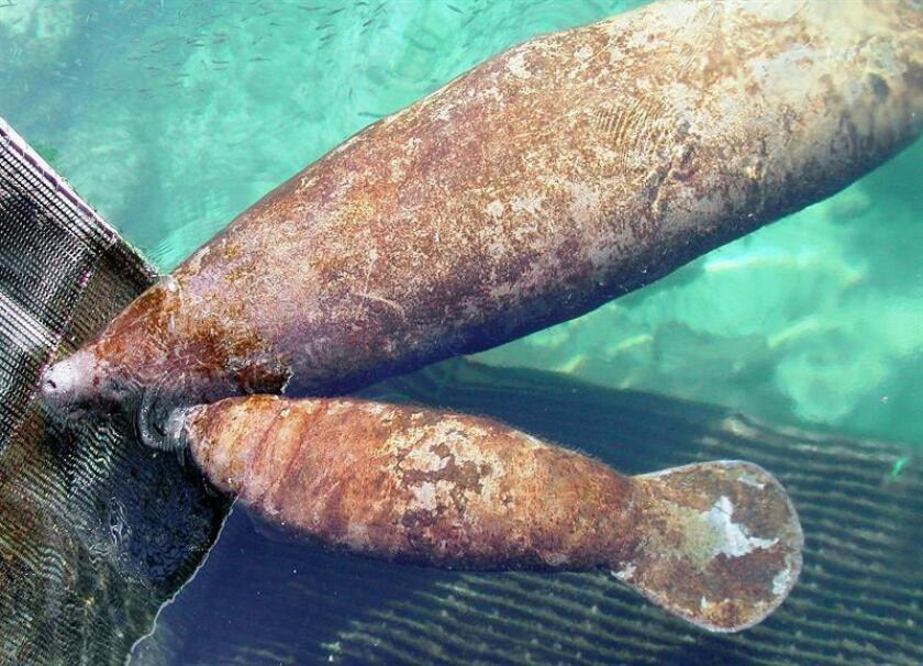 El segundo Manatí (vaca marina) nacido en cautiverio en toda Latinoamérica fue presentado el lunes 10 de octubre de 2005 en el parque acuático de Puerto Aventuras, en el estado mexicano de Quintana Roo, tras cumplir 6 semanas de edad. El Manatí, es una de las especies marinas en peligro de extinción. EFE/Archivo