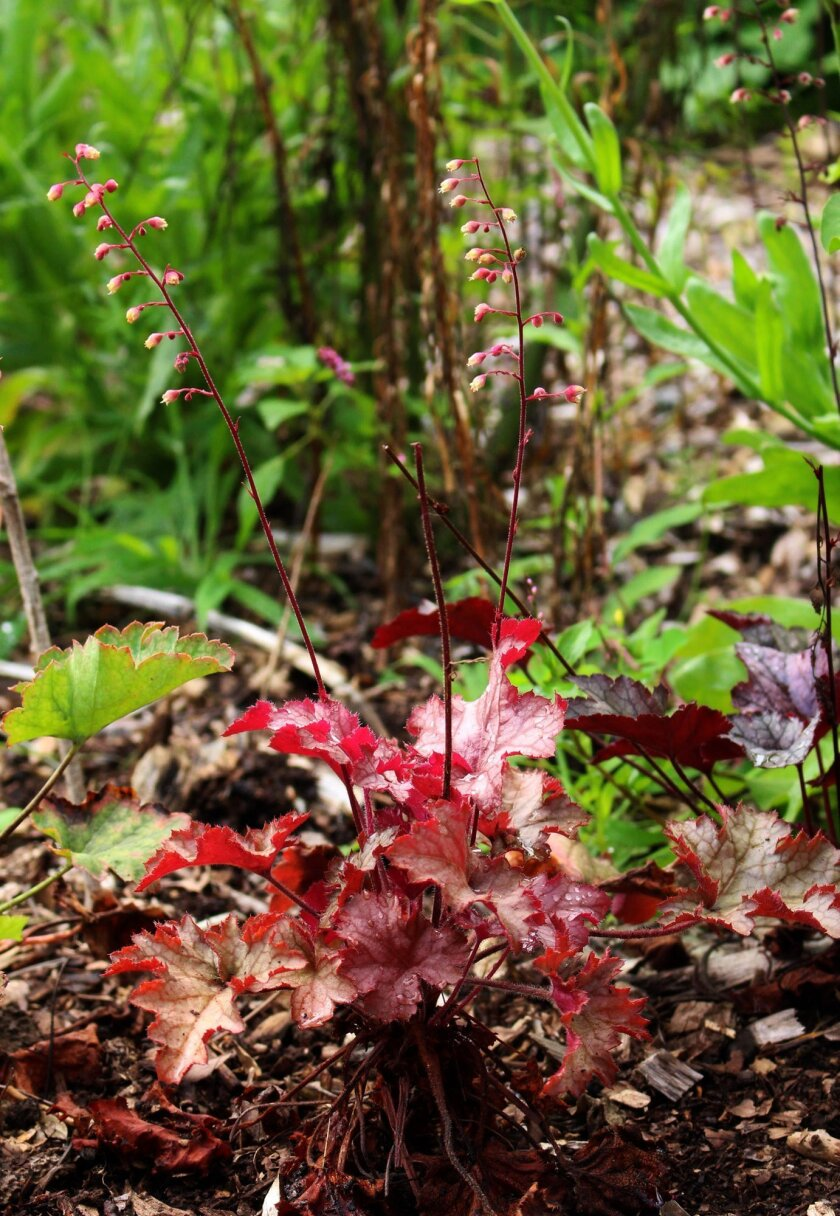 This July 28, 2014 photo shows Peach Carnival Parfait coral bells with flashy leaves from which emerge rather dainty and subdued flowers in New Paltz, New York. (AP Photo/Lee Reich)