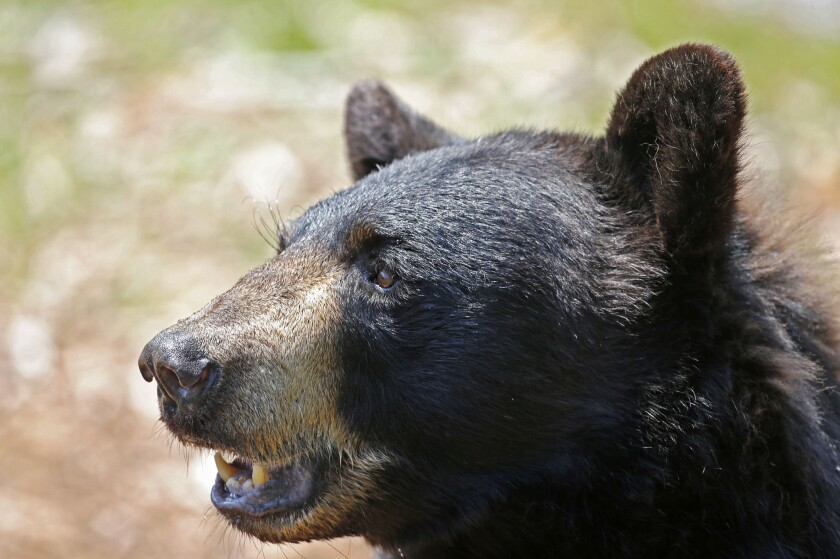 Maine voters rejected a measure to ban the use of bait, dogs and traps to hunt black bears.