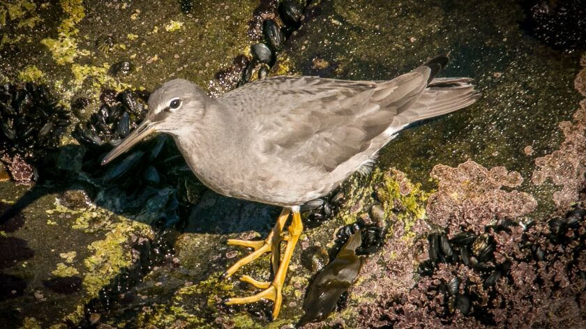 A wandering tattler spotted at La Jolla Cove.