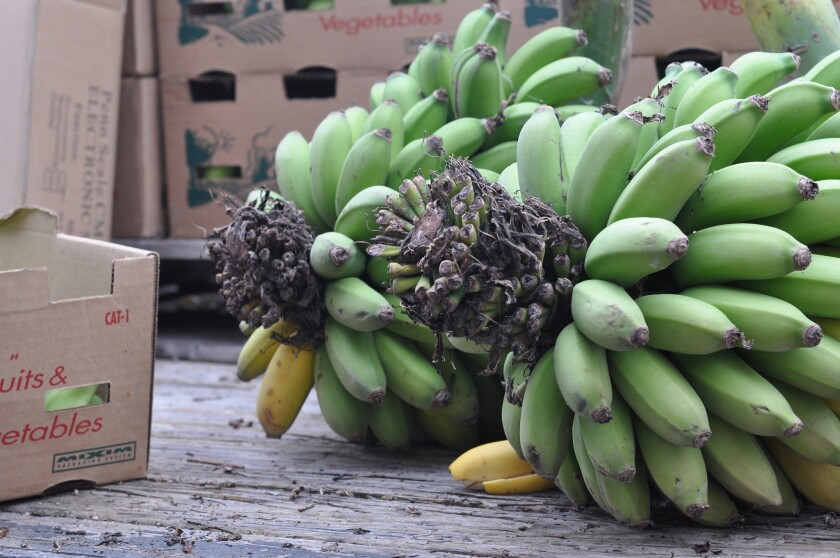 Southern California-grown bananas have returned to the Santa Monica farmers market, thanks to first-time farmer Andy Sheaffer of Vista Punta Gorda ranch in Ventura County.