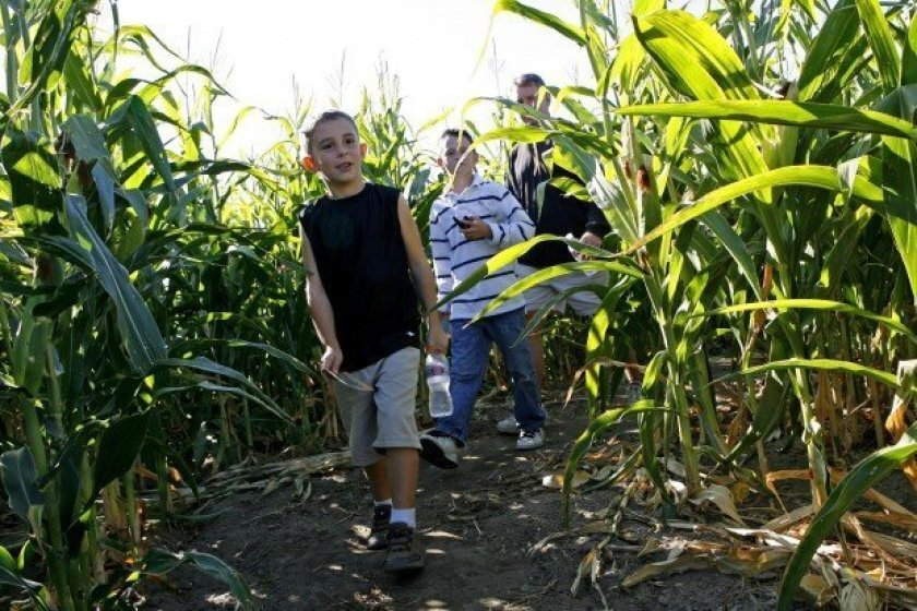 Children walk through a corn maze at one of the many pumpkin patches around San Diego County.