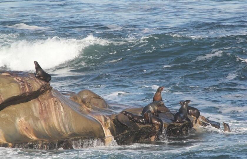 Sea lions La Jolla Cove