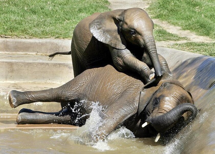 Ingadze (top), a 1-year-old male African elephant, plays Thursday with his half-sibling Impunga, a 3-year-old male, at the San Diego Zoo's Wild Animal Park. Nine African elephants have been born at the park since 2003.