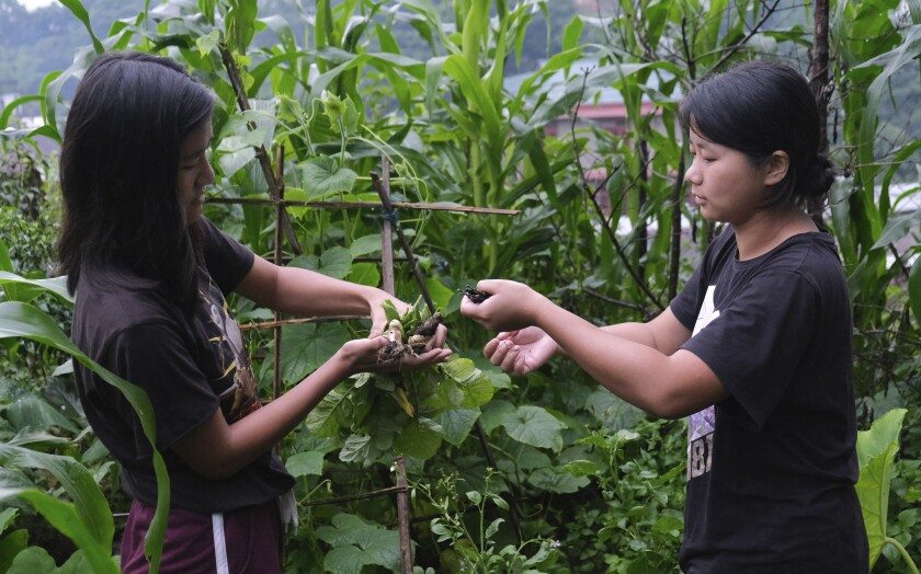 Naga girl Neichutuonuo Yhome, 23, right, passes chilies plucked from her garden to her younger sister Mene in Kohima, capital of the northeastern Indian state of Nagaland, Monday, June 29, 2020. The sisters decided to grow their own vegetables in the early stages of the lockdown. Their patchwork garden now has half a dozen variety of vegetables, and bean vines crawling up a bamboo trellis. (AP Photo/Yirmiyan Arthur)