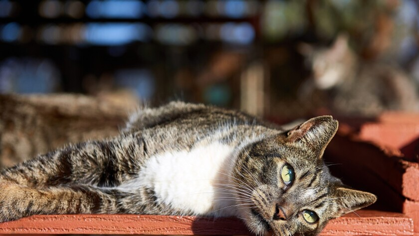 A cat finds a spot in the sun at the Lanai Cat Sanctuary on the Hawaiian island.