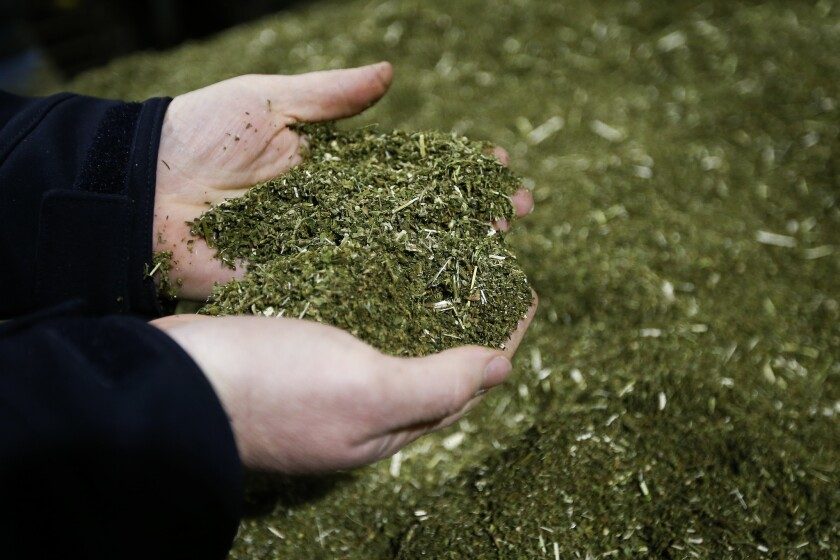 Brian Furnish, of Cynthiana, Ky., Director of Farming & Global Production at Ananda Hemp, examines a