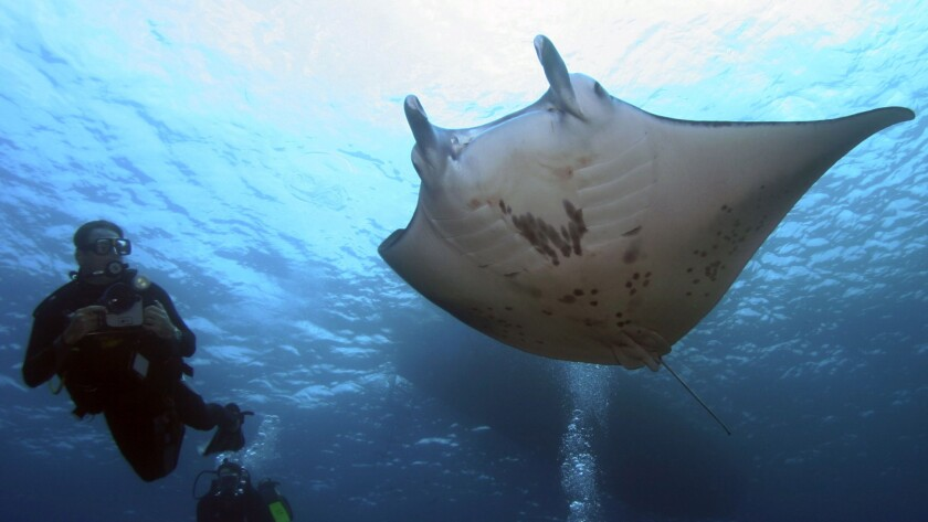 Keller Laros, founder of Manta Pacific Research Foundation, swims alongside a giant manta ray off Kailua-Kona on Hawaii's Big Island. The Manta Learning Center at the Sheraton Kona is celebrating its first anniversary this month.