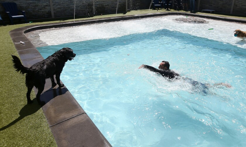 A new wave in Costa Mesa — a swim club just for dogs - Los ...
