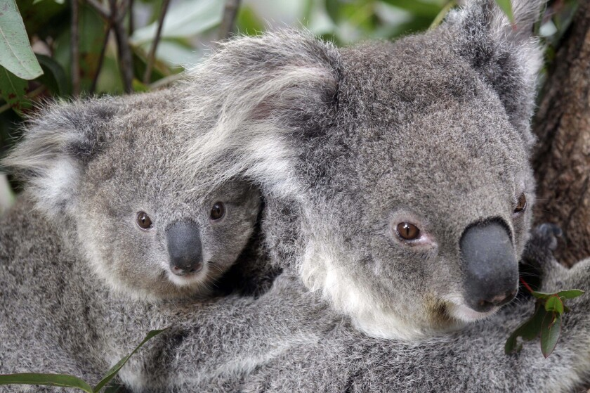 In this Sept. 1, 2011, file photo, two Koalas climb a tree at a zoo in Sydney, Australia. Conservationists fear hundreds of koalas have perished in wildfires that have razed prime habitat on Australia's east coast.