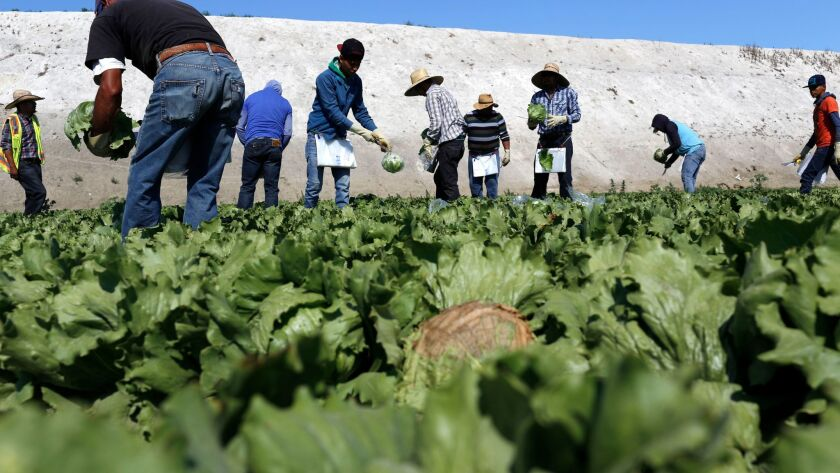 Workers harvest iceberg lettuce at a farm outside Salinas, California in July of 2015.