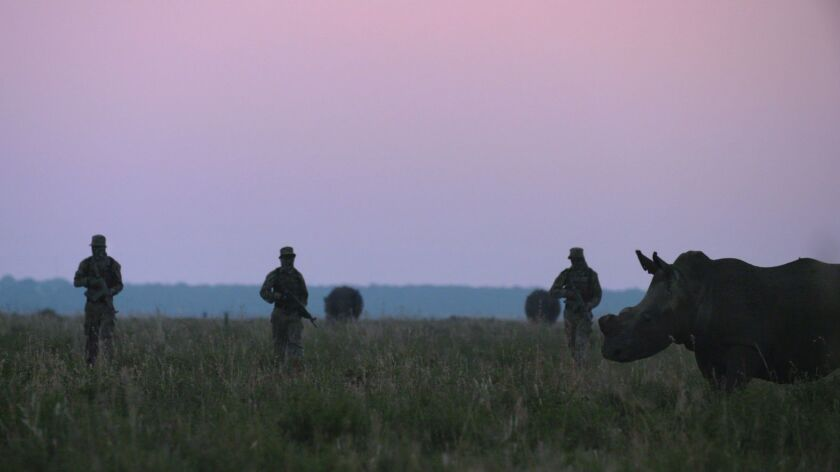 In Africa, rhinos have seen their population dwindle as poachers continue to hunt the animals for th