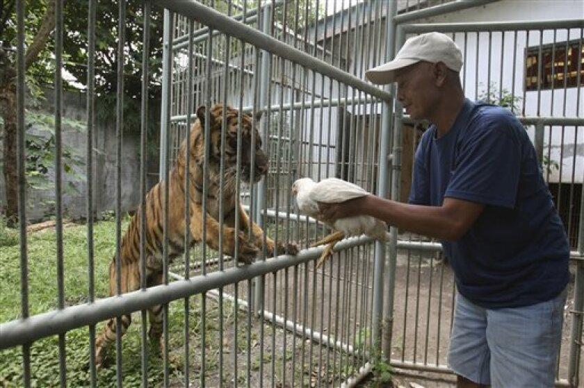 CORRECTS SPELLING OF TIGER'S NAME TO MELANI INSTEAD OF MELANIE- A keeper prepares to feed a chicken to Melani, a 15-year-old female Sumatran tiger that has been suffering from an undiagnosed digestive disorder for the past five years, at Surabaya Zoo in Surabaya, Indonesia, Wednesday, April 17, 201