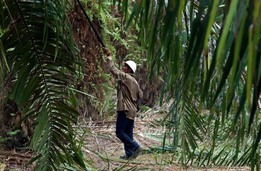Fotografía de un recolector de palma de aceite. EFE/Archivo