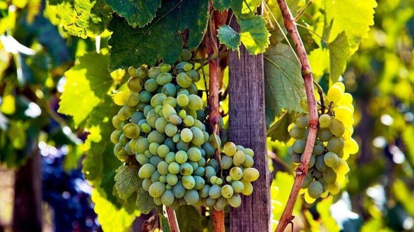 Grape harvest on Etna volcano. Sicily. Italy. Europe