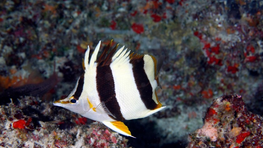 Marine biologists recently discovered a new species of butterflyfish in the deep waters of the reefs of the newly expanded Papahanaumokuakea Marine National Monument.