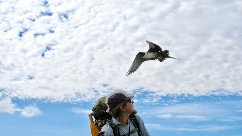 The author, Caroline Van Hemert, ducks her head as a long-tailed jaeger defends its nest in the Arctic National Wildlife Refuge of northern Alaska.