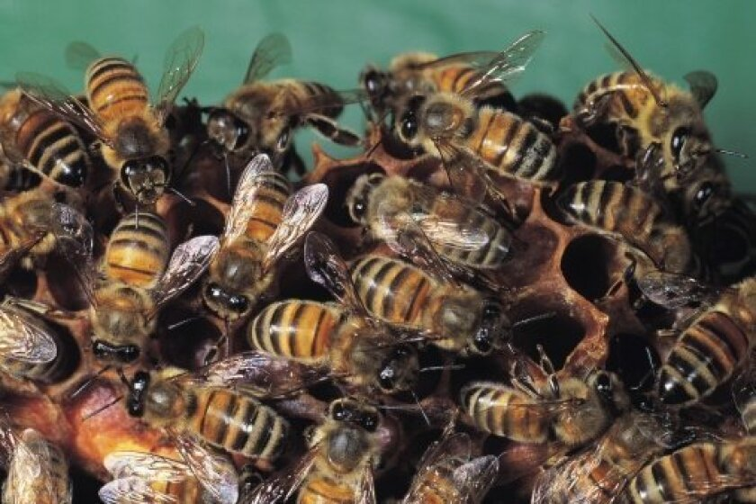Bees like these invaded the Mission Beach shoreline for two hours and eventually had to be removed