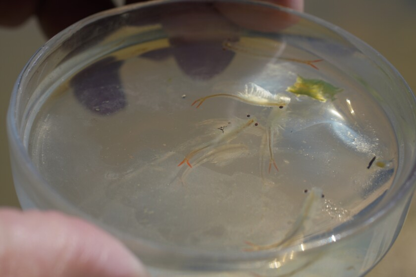 Biologists collect a small grouping of Riverside Fairy Shrimp for a closer examination.