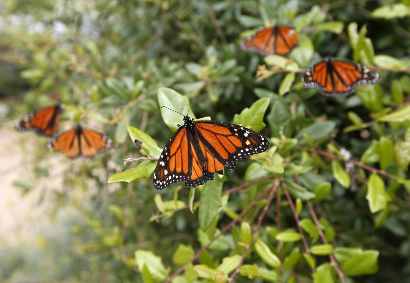Monarch butterflies land on a plant in the vivarium at Butterfly Farms, an Encinitas nonprofit organization that focuses on education and conservation.