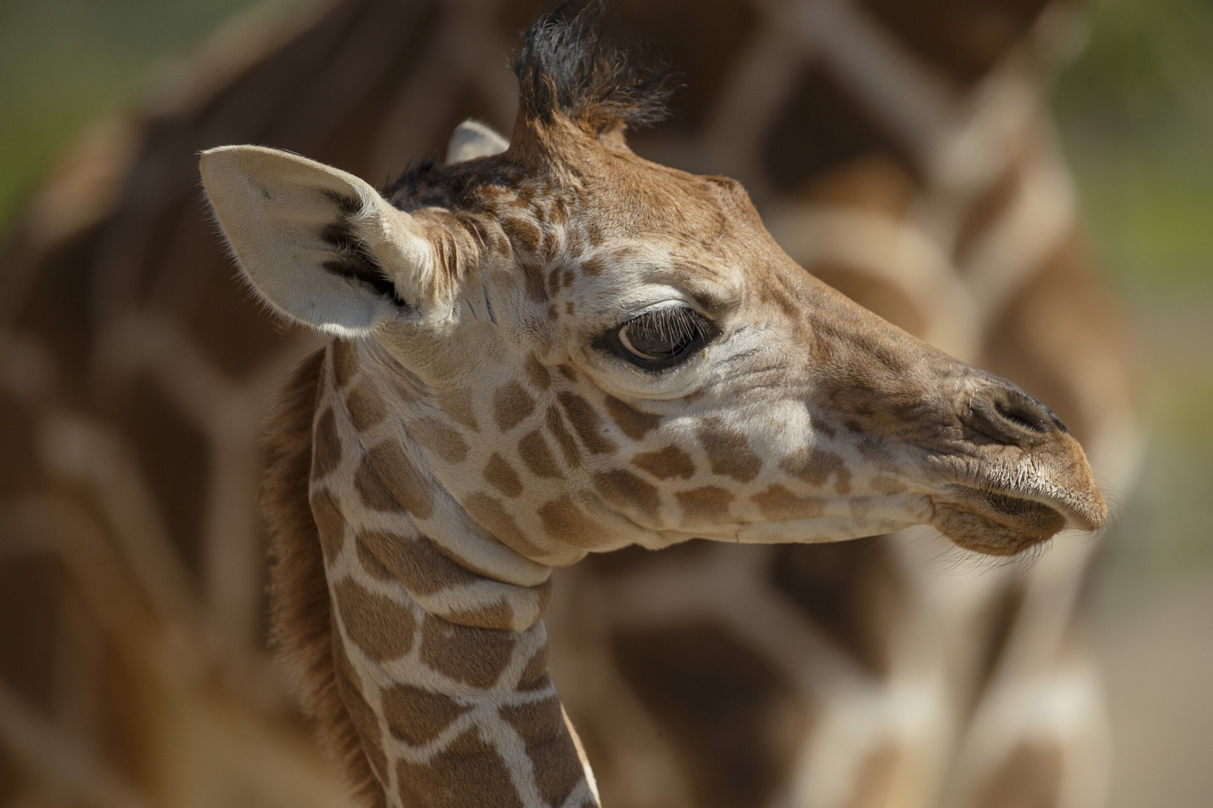One-month-old giraffe calf, Zahara, is the newest addition at the San Diego Zoo Safari Park.