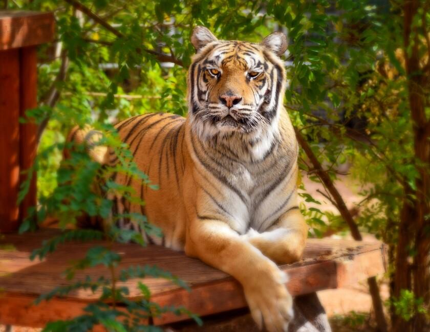 In a former life, Ruckus was primarily used for photo opportunities. The Bengal tiger now lives at Keepers of the Wild in Valentine, Arizona.