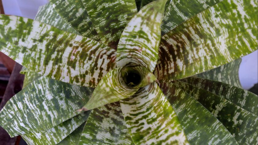A Vriesea ospinae var. gruberi Bromeliad grows in the garden of Juliana Raposo.