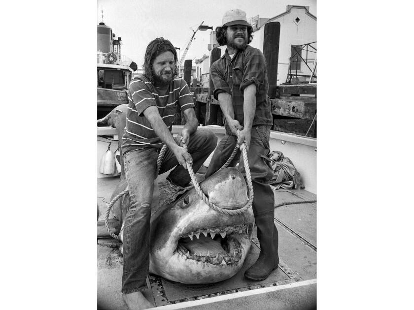 Aug. 20, 1976: The crew of the Dawn Renee, Jay Langham, left, and Hugh Inness-Brown open the mouth of 15-foot great white shark harpooned 10 miles off Catalina. Another boat's crew harpooned it but had to cut it loose. It was brought to San Pedro by Langham and Innes-Brown.
