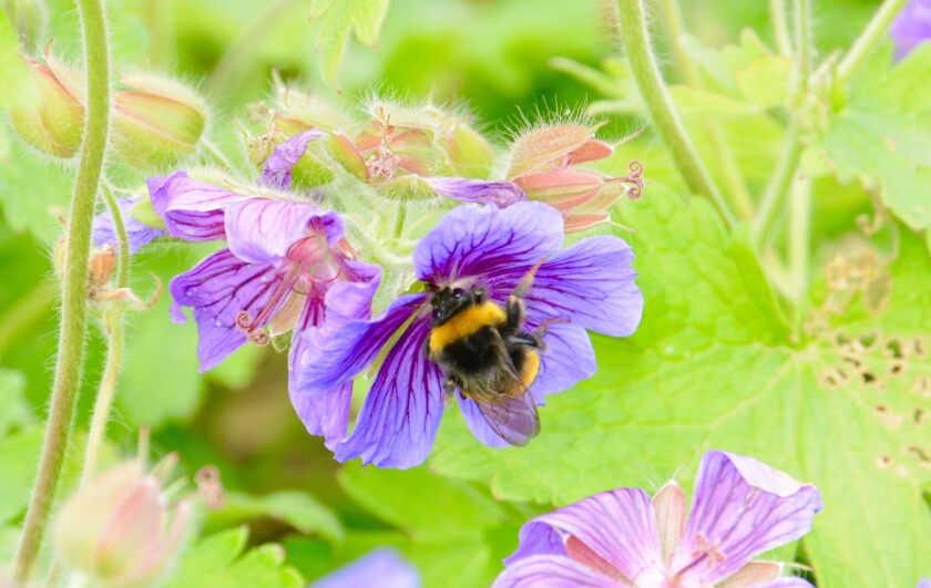 A new study shows how warming temperatures have caused bumblebee habitat to shrink in North America and Europe.