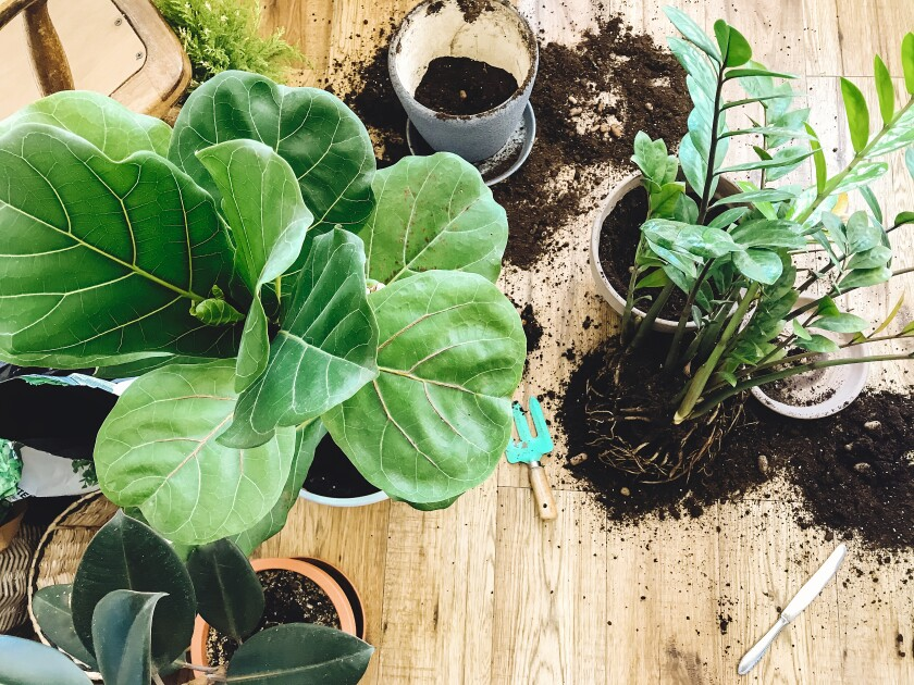 A fiddle leaf fig (at left) and other houseplants may change or need time to adjust to new surroundings.