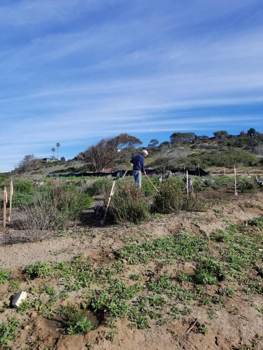 Sunset Cliffs Natural Park Council member David Kimball tends to the Native Plant Garden as he has been doing since 2005.