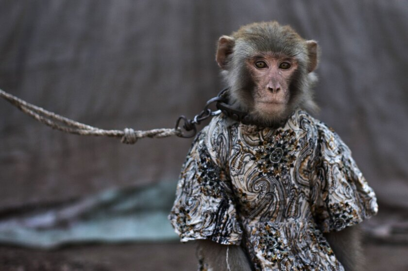 In this Tuesday, Feb. 11, 2014, photo, a trained monkey, that makes a living for her Pakistani owner by performing to a crowd in public and private places, sits held by a leash, in Rawalpindi, Pakistan. For Pakistanis who raise and train the monkeys they are an important source of income in an impoverished country, and they form a strong bond with the animals. The monkeys are usually captured in the wild when they are babies and then trained. A trained monkey can fetch 20,000 to 30,000 rupees ($190 to $285). (AP Photo/Muhammed Muheisen)