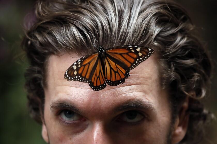 Una mariposa monarca se posa en la frente de un hombre en la reserva de Amanalco de Becerra