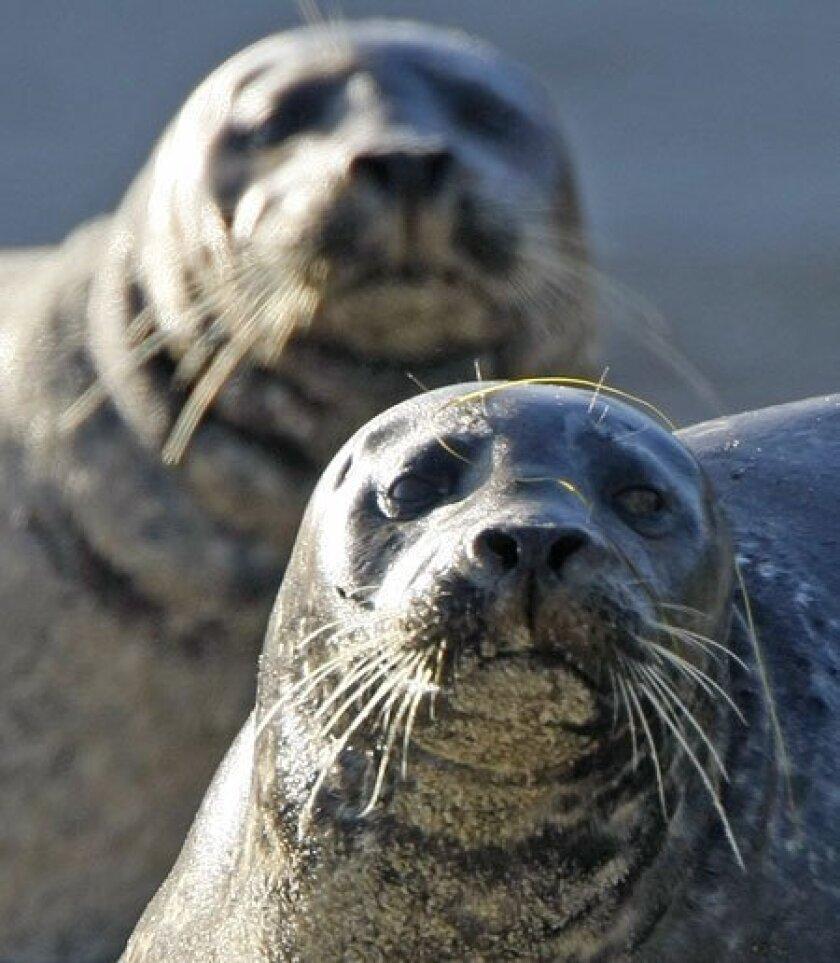 Seals have congregated at the Children's Pool beach since the 1990s. (John R. McCutchen / U-T)