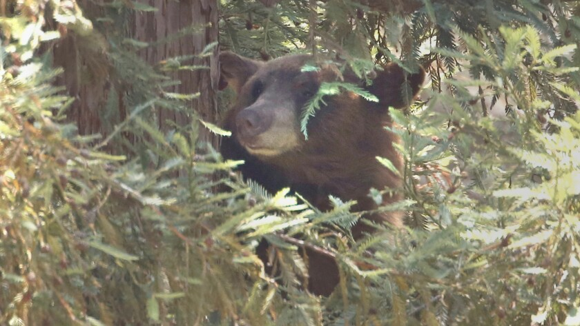 A female black bear rests in a tall pine tree on Jarvis Avenue in La Cañada Flintridge after walking through the neighborhood and swimming in a pool.